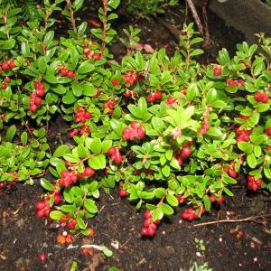 Брусника в саду выращивание 5