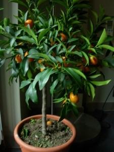 Как вырастить кумкват из косточки в домашних условиях фото
