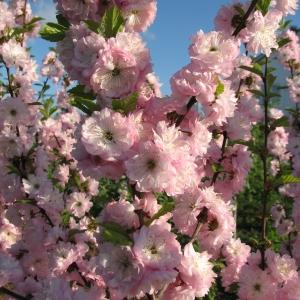 Миндаль трехлопастный розовое
