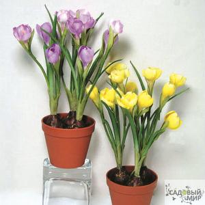 Луковичные цветы в горшке фото