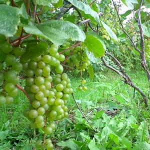 сорт винограда смарагд фото описание