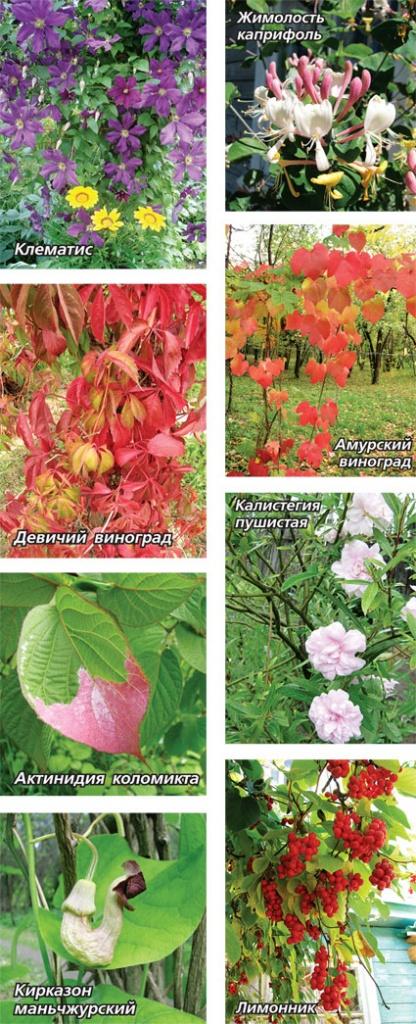 Топ лучших многолетних лиан для оформления садового участка на ... | 1024x416