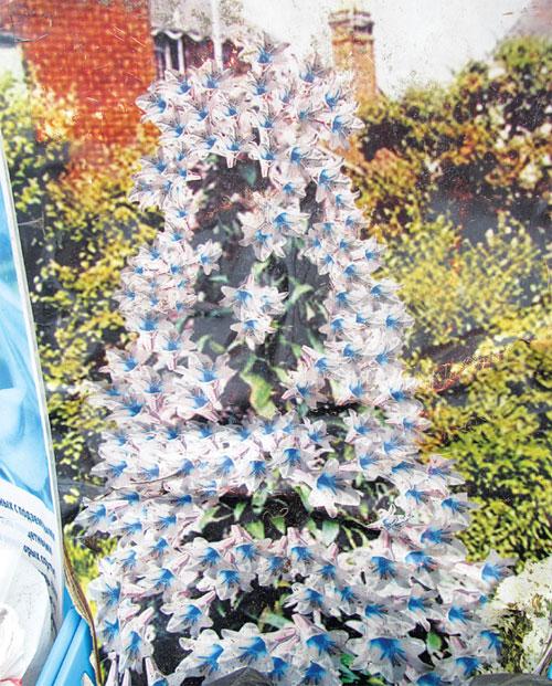 лилия пирамидальная посадка и уход фото