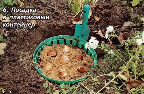 Посадка луковичных культур