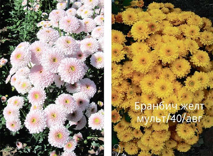 Уход за мульти-хризантемами