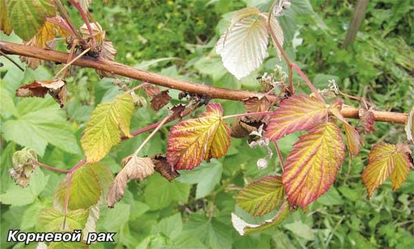 Вздутия на стеблях малины