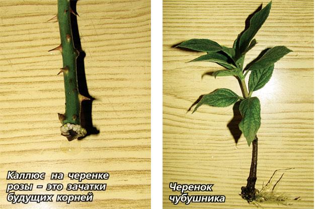 Выращивание черенков розы в газете 92