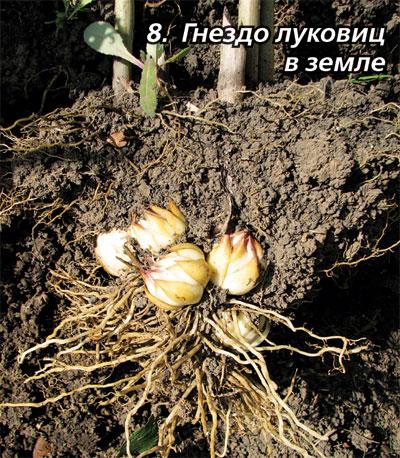 Как сажать проросшие луковицы лилий осенью 93