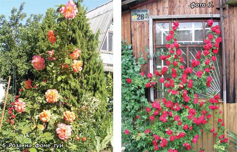 Куда лучше посадить розу плетистую