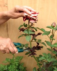 Нужно ли обрезать розы летом после цветения