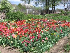 tulipa15.jpg