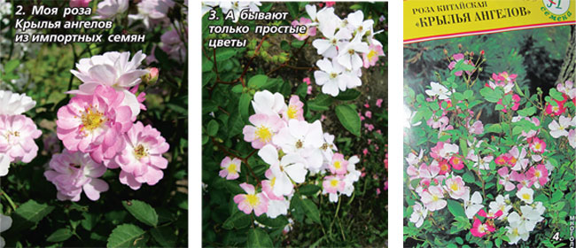 Китайская роза крылья ангела выращивание из семян