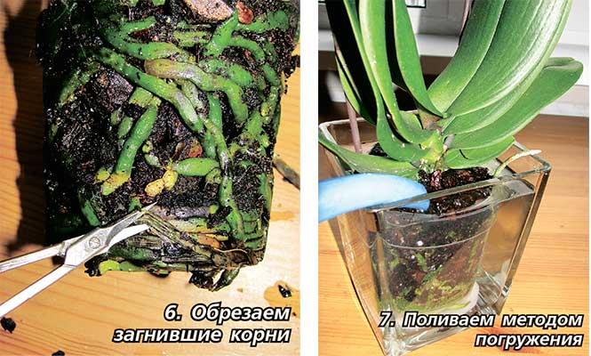 Можно ли брызгать водой орхидею