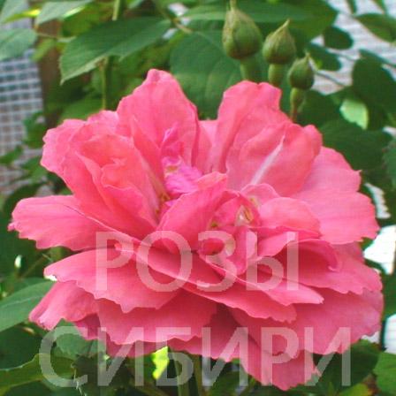 Новосибирск питомник розы сибири