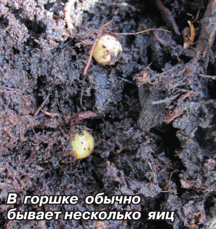 Дождевые черви в комнатных цветах