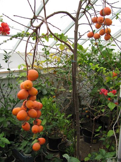 Выращивание в теплице фейхоа 34