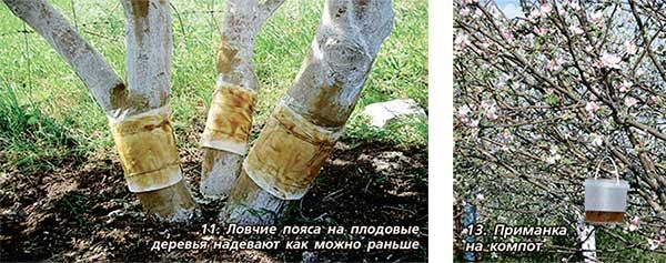 Как сделать ловчие пояса на плодовые деревья своими руками