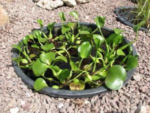 Купить водный гиацинт в москве