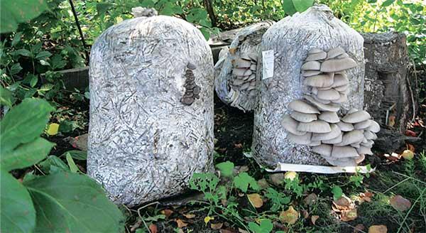 Выращивание грибов на садовом участке для новичков 47