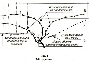 Обрезка винограда летом или как правильно формировать Схема обрезки винограда по годам рисунки