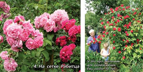 Когда можно сажать розу плетистую 987