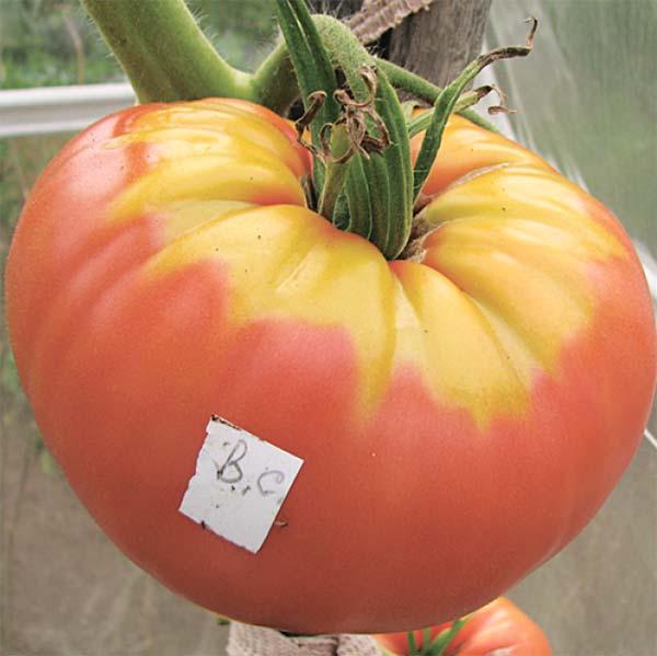 Нитратные помидоры фото