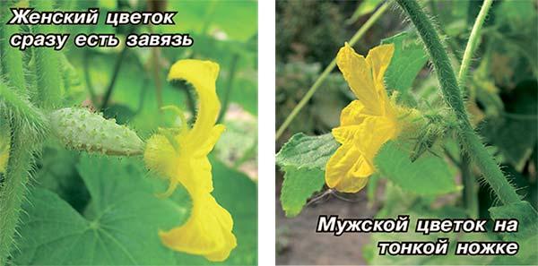 Почему на огурцах только мужские цветы