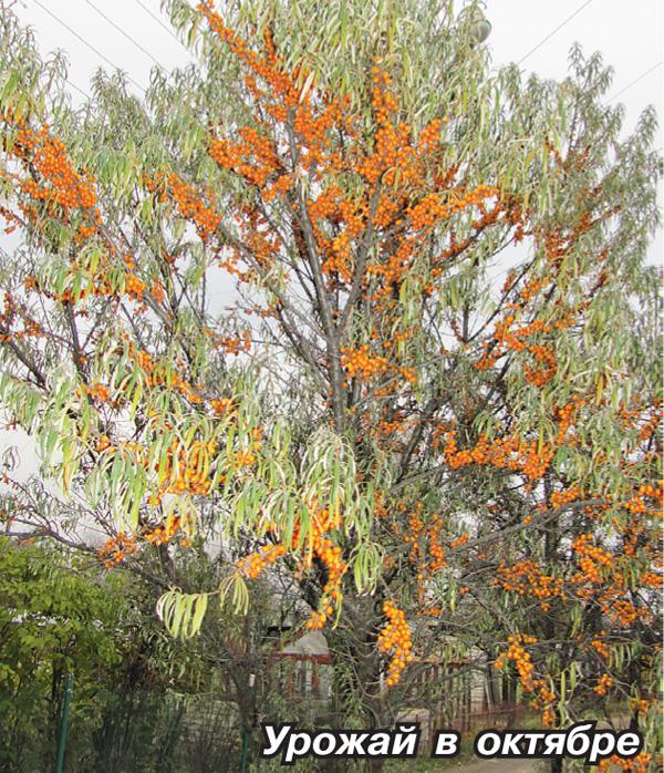 облепиховое дерево фото