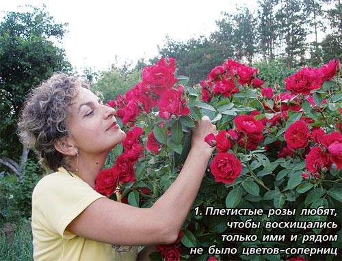Когда можно сажать розу плетистую 946